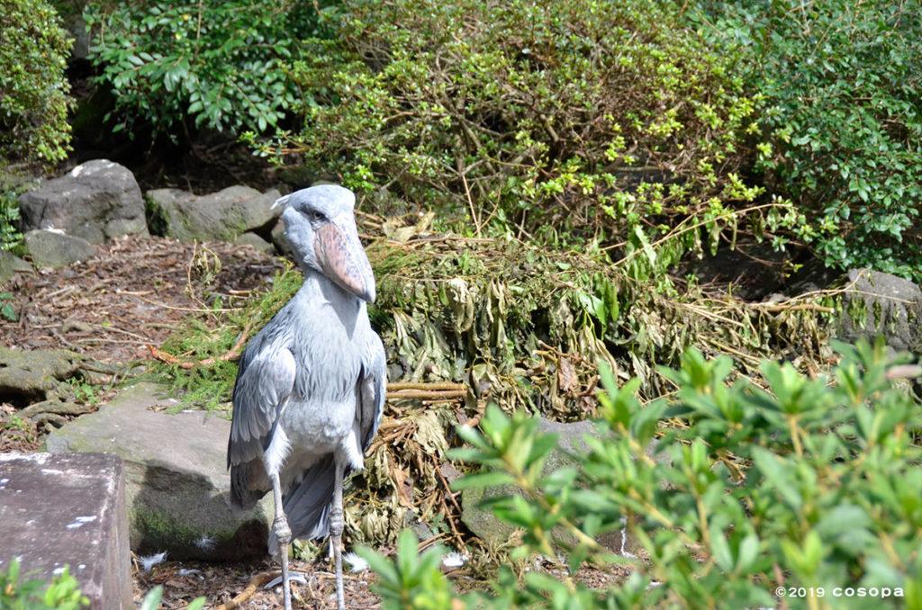 50歳近いご長寿鳥のハシビロコウがいます!
