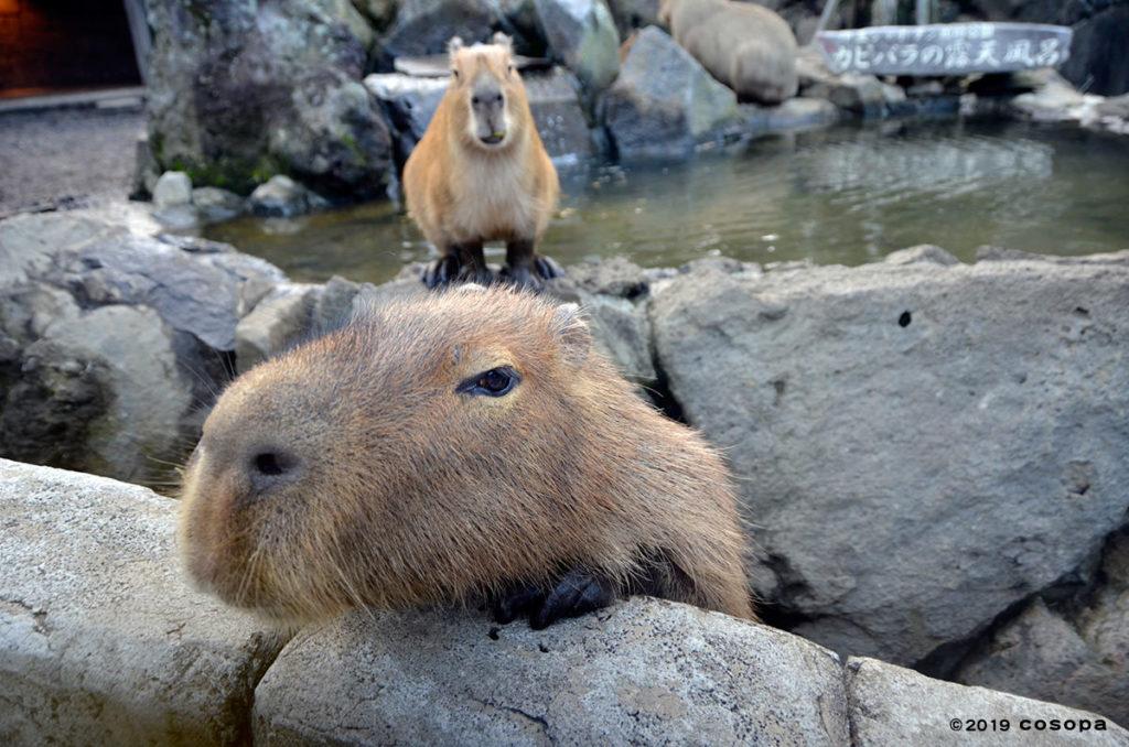 寒い時は露天風呂に入るカピバラは人懐っこいです